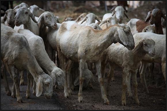 goatness